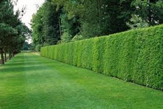 Giardinaggio professione pulito for Piante per siepi sempreverdi